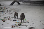 Long-tailed macaques rummaging through trash on a beach [java_0703]
