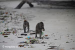Long-tailed macaques rummaging through trash on a beach [java_0704]