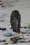 Long-tailed macaques rummaging through trash on a beach [java_0705]