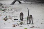 Long-tailed macaques rummaging through trash on a beach [java_0706]
