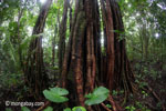 Jungle tree in Ujung Kulon NP