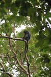 Black leaf monkey