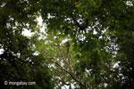 Javan lutung (Trachypithecus auratus)