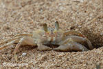 Ghost crabs on the beach