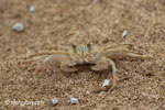 Ghost crabs on the beach [java_0828]