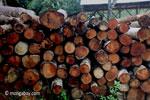 Pile of teak logs at a sawmill