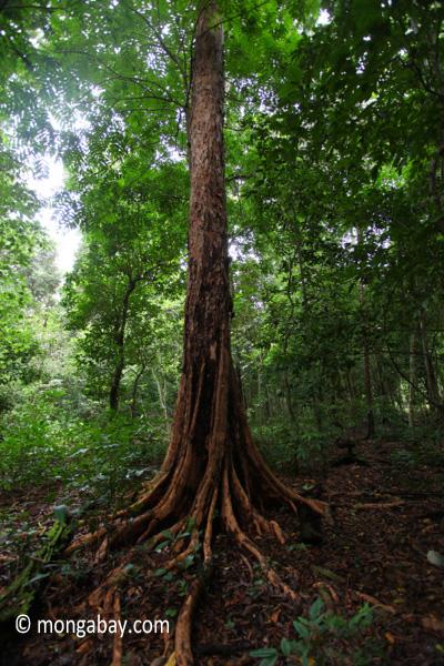 Peucang Island rainforest