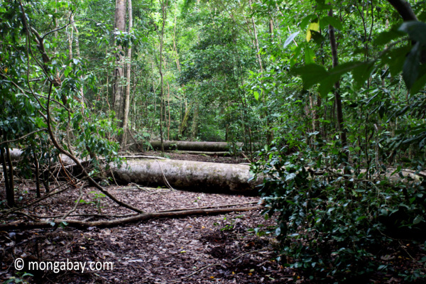 Fallen rainforest tree in Java's Ujung Kulon N.P.