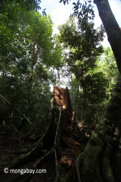Buttress roots after a tree fall