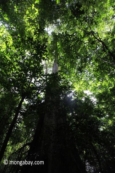 Rainforest giant [java_0525]
