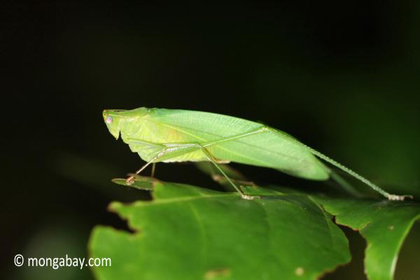 Leaf-like katydid