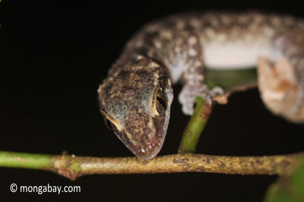 An as yet unidentified species of gecko on the island of Java, Indonesia. Photo by: Rhett A. Butler.
