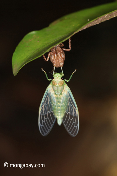 Cicada emerging from from its larval stage