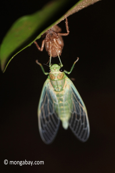 Cicada emerges from its exoskeleten. Photo by: Rhett A. Butler.