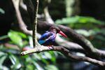 Javan Kingfisher (Halcyon cyanoventris)