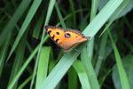 Oranye dan coklat kupu-kupu