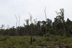 Deforested peat forest in West Kalimantan, Indonesia [kalbar_0018]