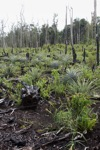 Deforested area being planted with pineapple and other crops after logging and burning [kalbar_0021]