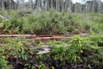 Illegally logged timber being cut in a deforested peat forest