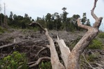 Deforested peat forest in West Kalimantan, Indonesia [kalbar_0052]