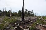 Terbakar tunggul pohon di hutan hujan di Kalimantan mantan