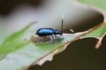 Indigo blue beetle [kalbar_0086]