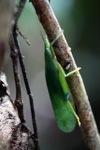 Green leaf-like katydid [kalbar_0089]