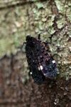 Black, purple, turquoise, red and orange leafhopper [kalbar_0129]