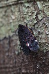 Black, purple, turquoise, red and orange leafhopper