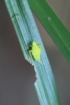 Small neon green insect with orange spots [kalbar_0191]