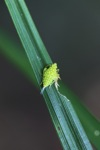 Small neon green insect with orange spots [kalbar_0193]