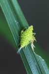 Kecil serangga hijau neon dengan bintik-bintik oranye
