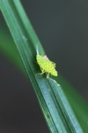 Small neon green insect with orange spots [kalbar_0200]