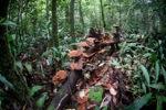 Reddish-brown fungi in the rainforest [kalbar_0332]