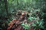 Rust berwarna jamur di hutan hujan