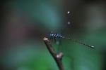 Blue-eyed dragonfly [kalbar_0392]