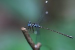 Blue-eyed dameselfly