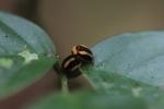 Orange and black beetles mating