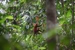 Red Langur (Presbytis rubicunda)