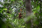 Red Leaf Monkey (Presbytis rubicunda) [kalbar_0491]