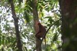 Red Leaf Monkey (Presbytis rubicunda) [kalbar_0558]