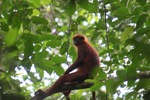 Red Leaf Monkey (Presbytis rubicunda) [kalbar_0483]