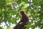 Red Leaf Monkey (Presbytis rubicunda) in the rainforest canopy [kalbar_0523]