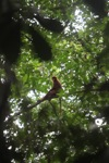 Maroon Langur (Presbytis rubicunda) in the rainforest canopy