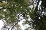 Red Langur (Presbytis rubicunda) in the rainforest canopy [kalbar_0540]
