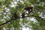 Red Leaf Monkeys [kalbar_0593]