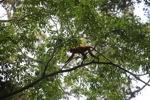 Maroon Leaf Monkey [kalbar_0620]