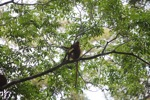 Maroon Leaf Monkey [kalbar_0624]