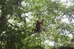 Red Leaf Monkey [kalbar_0638]