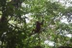 Red leaf monkey [kalbar_1056]